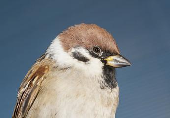 brown sparrow closeup