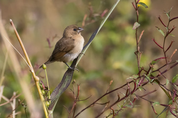 Portrait of Indian Silverbill Sitting on a Branch Looking at Camera