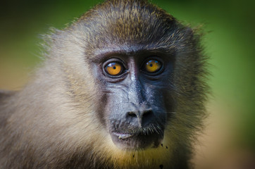 Closeup portrait of young drill monkey in rain forest of Nigeria