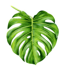 Tropical leaf of monstera. Hand painted watercolor illustration isolated on white background. Realistic botanical art. Design element for fabrics, invitations, clothes and other.