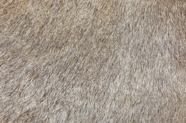 Detail of A Skin of A Cow Texture Background