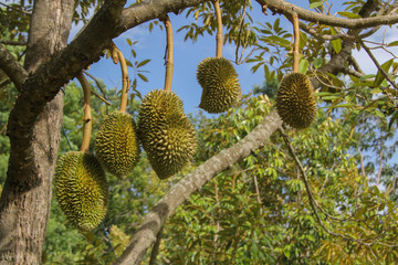 Durians grow on trees