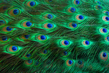 Peacock feathers Green Dot Pattern Blue Background