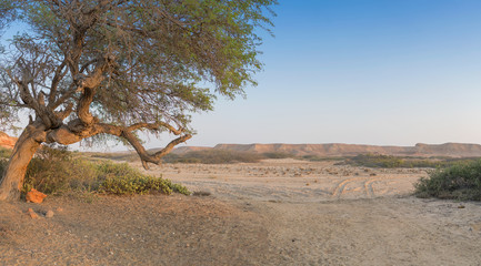 Old tree in the desert with morning light. Mountains in background blurred.Namibe, Angola.