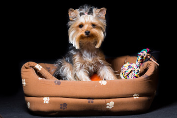 miniature dog breed Yorkshire Terrier with an elastic band on his hair sits in his couch, isolated on black
