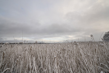 Rushes with frosty leaves close to a lake
