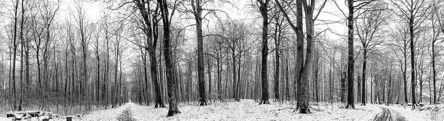 Winter scenery of a forest with snow in panorama