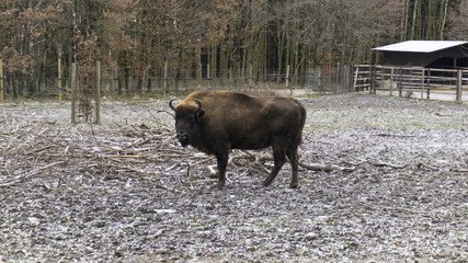 Single Bison standing in winter scenery
