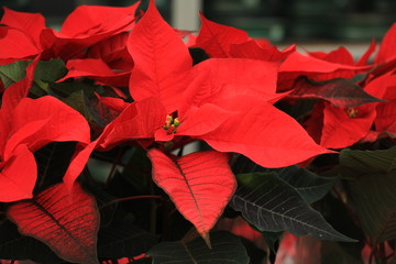 group of red poinsettia