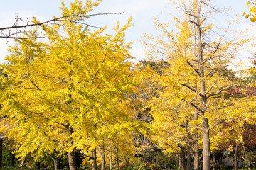 Autumn leaves of Sarue Park in Koto Ward, Tokyo, Japan /  Opened in 1932 and old, it was known to surrounding residents as precious