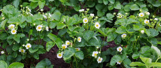 Strawberry plant. Blossoming  of  strawberry.  Stawberry bushes.  Strawberries in growth at garden.