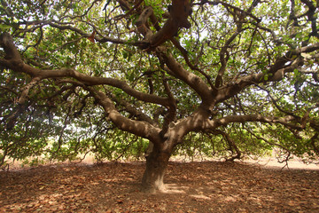 huge old cashew tree