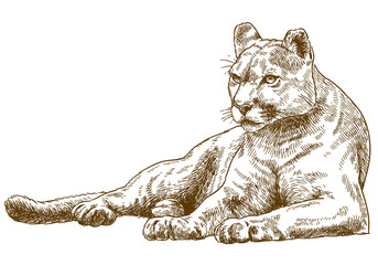 engraving illustration of cougar