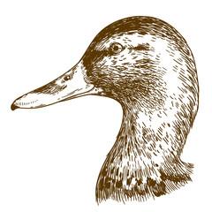 engraving illustration of mullard duck head
