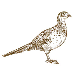 engraving drawing illustration of pheasant female