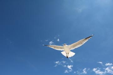 Flying Australian Seagull Chroicocephalus novaehollandiae at Indian Ocean