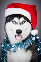 Portrait of Siberian husky in Santa hat
