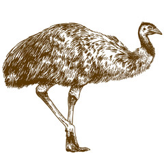 engraving drawing illustration of ostrich Emu