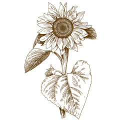 engraving illustration of sunflower