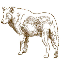 engraving drawing illustration of wolf