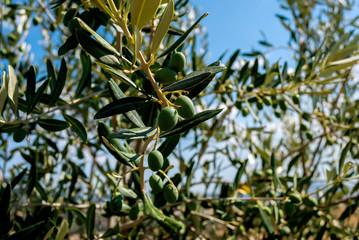 Olivo con olive verdi