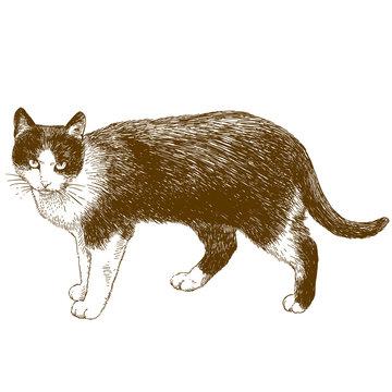 engraving illustration of cat