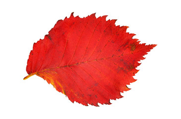 Bright red elm leaf on white background