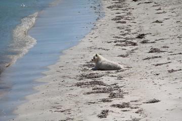 Dog at sandy beach of Cottesloe Beach at Indian Ocean, Western Australia