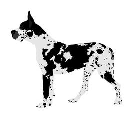 Portrait of Great Dane vector illustration isolated. Harlequin dog. German dog. Beware of dog.