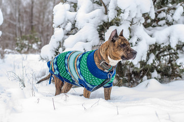 American staffordshire terrier outside in nature on a bed of snow. The dog wearing a winter knitted vest for staying warm during the cold winter days.
