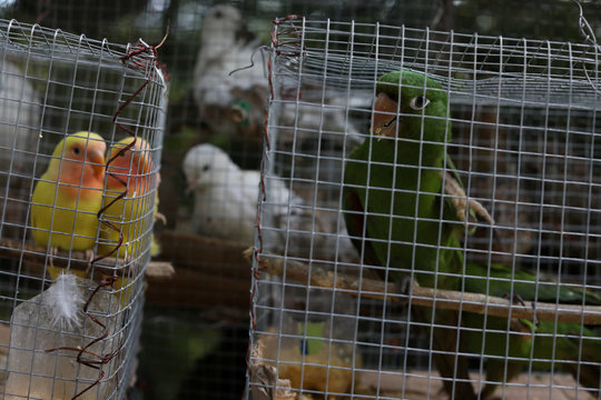 Birds in cages are displayed for sale in a street of Port-au-Prince