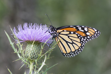 Butterfly 2017-143 / Monarch on thistle