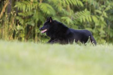 schipperke dog in summer