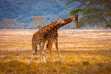 Africa. National Parks of Africa. Two giraffes in the wild nature of Africa. Kenya.