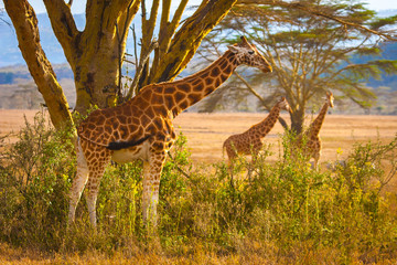 Africa. National Parks of Africa. Travels to Africa by car. Kenya. Giraffes in the meadow.