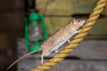 Brown rat on anchor rope