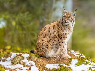 Spoed Foto op Canvas Lynx Eurasian Lynx looking backward