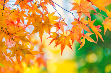 The viewing of colorful Autumn leaves Momiji or Japanese Maples trees