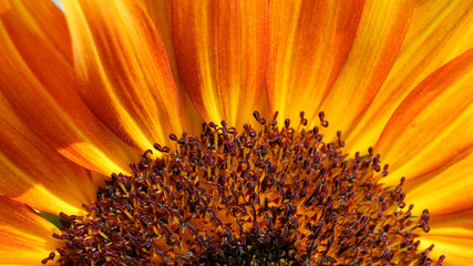 Macro of sunflower