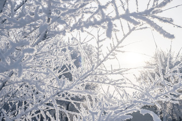 Winter species of snow-covered tree branches against
