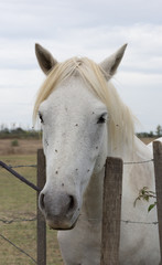 Close Up of a White Camargue Horse Facing the Camera. He is standing at a barbed wire fence facing the camera.
