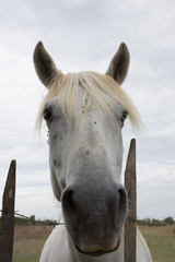 Close Up of a White Camargue Horse's Face between Fence Posts. Photographed with a shallow depth of field. Gray cloudy sky is in the background.