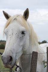Close Up of the Head of a White Camargue Horse with flies on its face and a barbed wire fence at its chest.