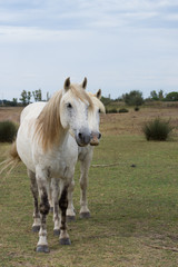 Two White Camargue Horses Facing the Camera standing in a grassy pasture. Photographed in natural light.