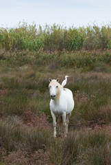 White Camargue horse with a white cattle egret on its back, standing in a lush field. Photographed in natural light.