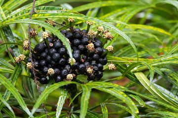 Flowers, black berry of Green Aralia (Miagos bush) ornamental plant with Palmate compound leave