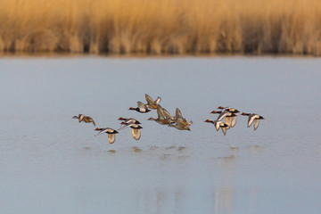 group of red-crested ducks (netta rufina)  flying over water surface at reed belt