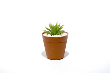 Haworthia succulent plants isolated on white background