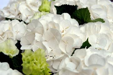 White hydrangea. Marriage ceremony