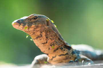 Young monitor Lizard with leaves on the head
